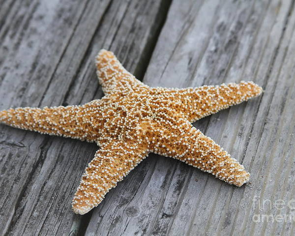 Starfish Poster featuring the photograph Sea Star On Deck by Cathy Lindsey