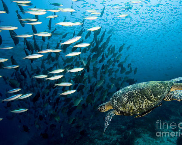 Sea Poster featuring the photograph Sea Turtles by Boon Mee