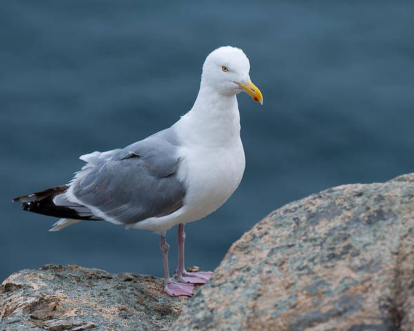 Acadia National Park Poster featuring the photograph Seagull by Sebastian Musial