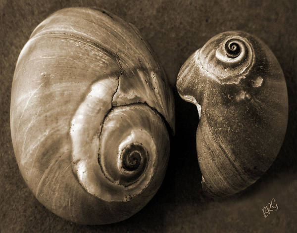 Seashell Poster featuring the photograph Seashells Spectacular No 6 by Ben and Raisa Gertsberg