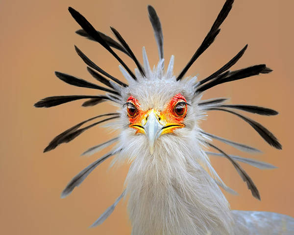 Bird Poster featuring the photograph Secretary bird portrait close-up head shot by Johan Swanepoel