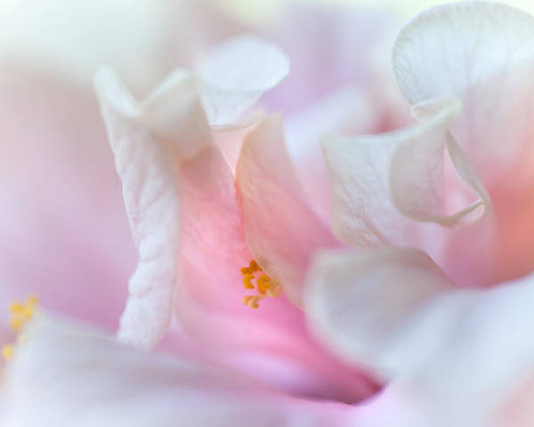 Hibiscus Poster featuring the photograph Sensuality. Peach Hibiscus. Macro by Jenny Rainbow