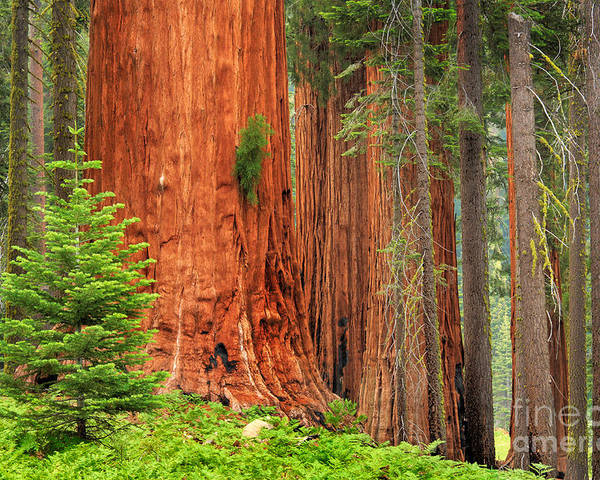 America Poster featuring the photograph Sequoias by Inge Johnsson