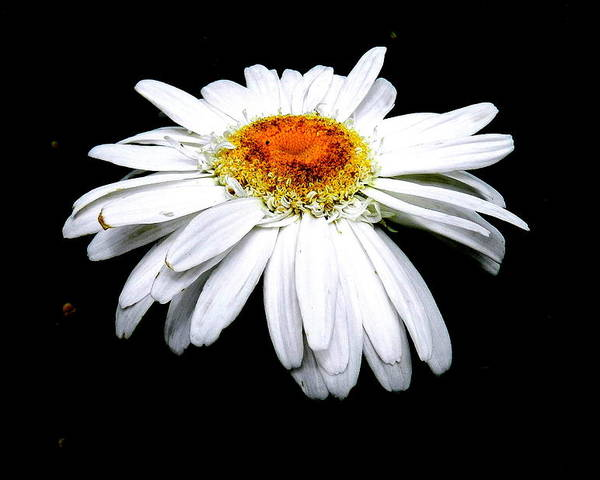 White Daisy Poster featuring the photograph Serenity by Sheri Copeland