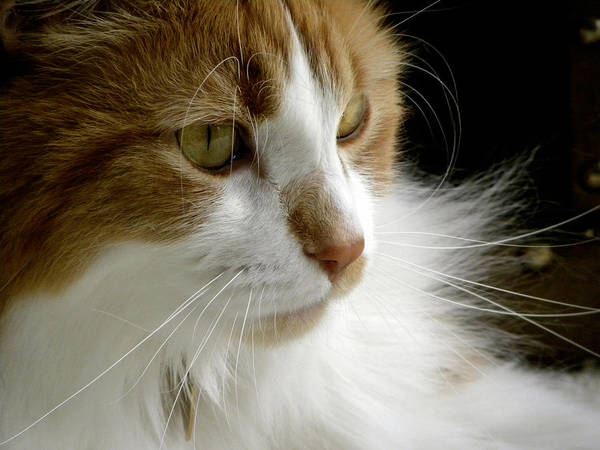 Maine Coon Cat Poster featuring the photograph Serious Gato 1 by Julie Palencia