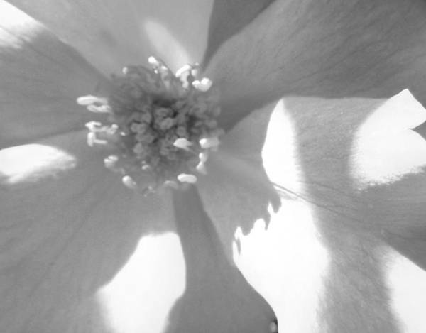 Rose Poster featuring the photograph Shadows On A White Rose by Tina M Wenger