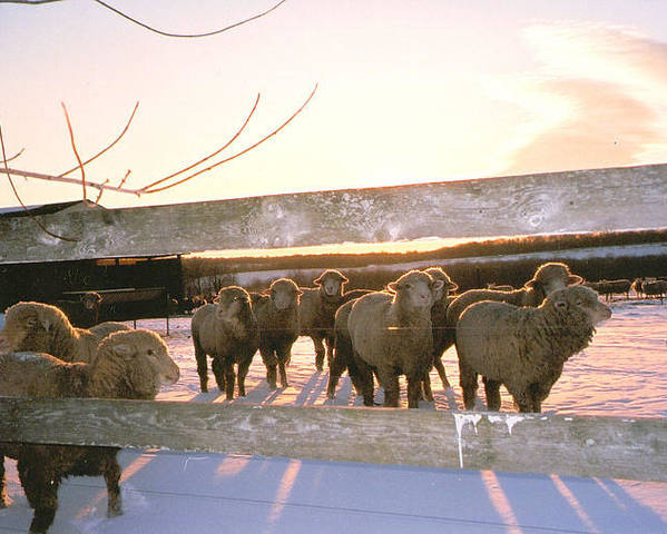 Animal Photography Poster featuring the photograph Sheep At Sunset by Ellen Stockdale Wolfe