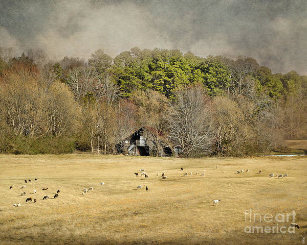 Barn Poster featuring the photograph Sheep In The South by Jai Johnson