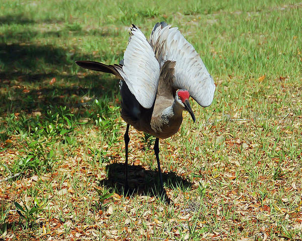 Sandhill Crane Poster featuring the photograph Show Off by Aimee L Maher Photography and Art Visit ALMGallerydotcom