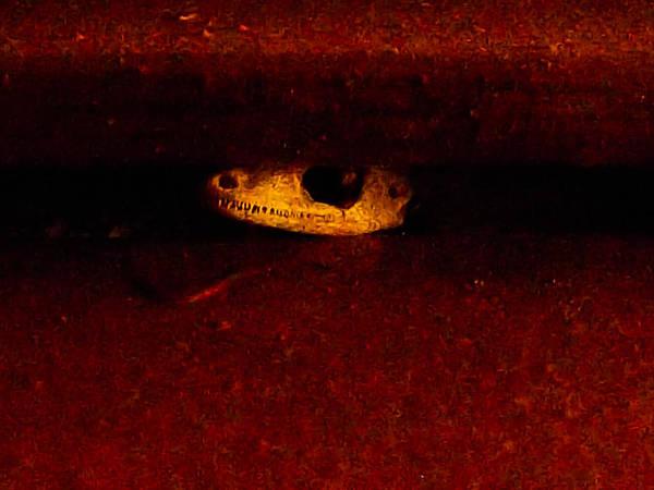 Lizard Skull Poster featuring the photograph Shutter Death Trap by Zech Browning