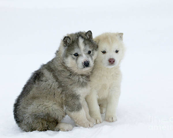 Siberian Husky Poster featuring the photograph Siberian Husky Puppies by M. Watson