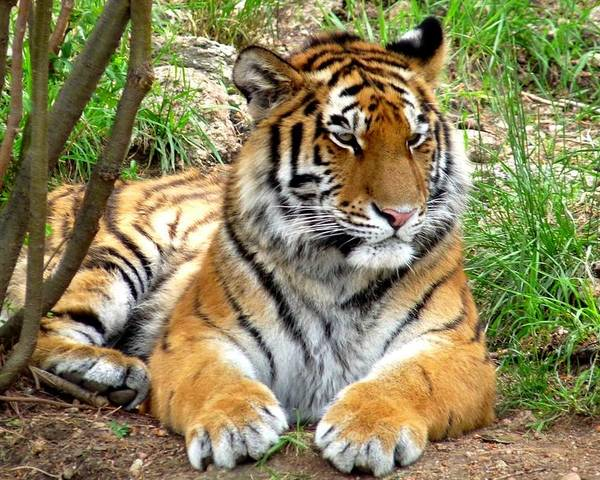 Colorado Poster featuring the photograph Siberian Tiger by Marilyn Burton