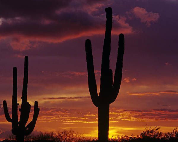 American Southwest Poster featuring the photograph Silhouetted Saguaro Cactus Sunset Arizona State Usa by Jim Corwin