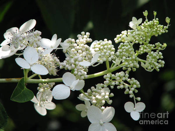 Hydrangea Poster featuring the photograph Simply by Amanda Barcon