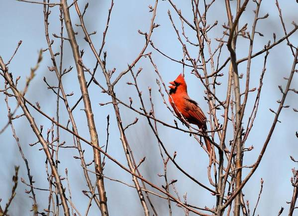Cardinal Poster featuring the photograph Singing For A Mate by Bonfire Photography