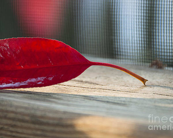 Single Poster featuring the photograph Single Red Leaf by Terry Rowe