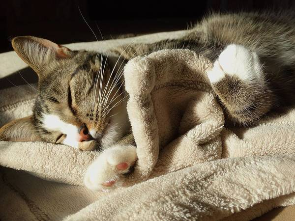 Cat Poster featuring the photograph Sleeping Angel by Rebecca Overton