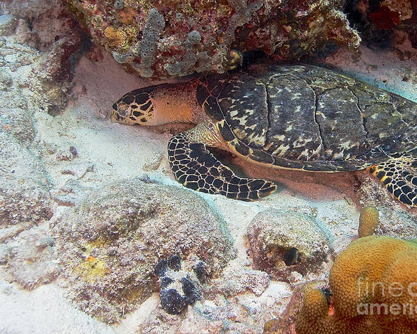 Hawksbill Sea Turtle Poster featuring the photograph Sleeping Hawksbill Sea Turtle by Thomas Major
