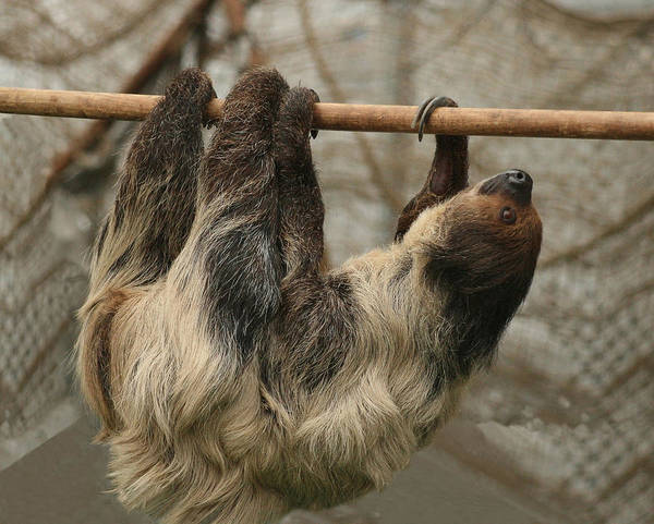 Sloth Poster featuring the photograph Sloth by Ellen Henneke