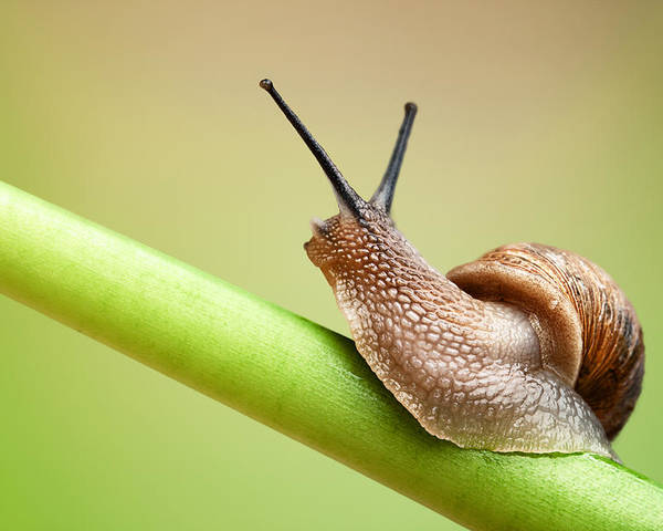Snail Poster featuring the photograph Snail On Green Stem by Johan Swanepoel