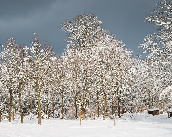Winter Poster featuring the photograph Snow Covered Trees In The Forest In Winter by Matthias Hauser