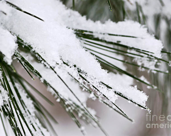 Winter Poster featuring the photograph Snow On Pine Needles by Elena Elisseeva
