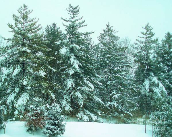 Winter Poster featuring the photograph Snow On The Evergreens by Tahlula Arts