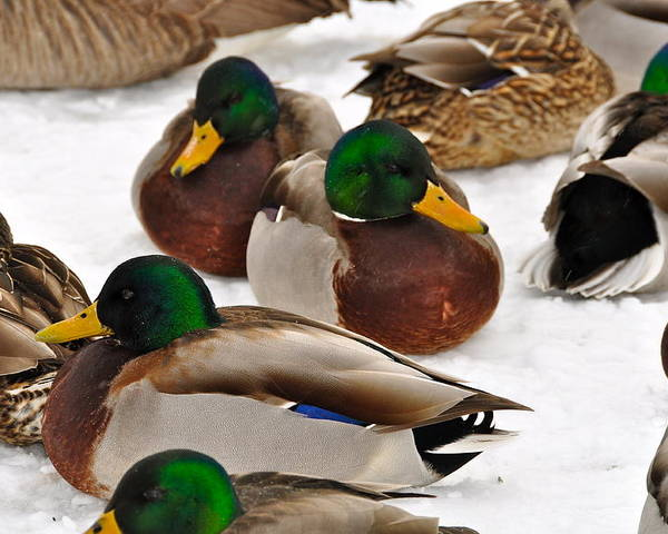 Ducks Poster featuring the photograph Snow Siesta by Catherine Renzini