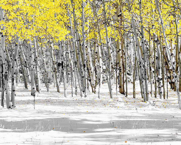 Aspen Trees Poster featuring the photograph Snowy Aspen Landscape by The Forests Edge Photography - Diane Sandoval