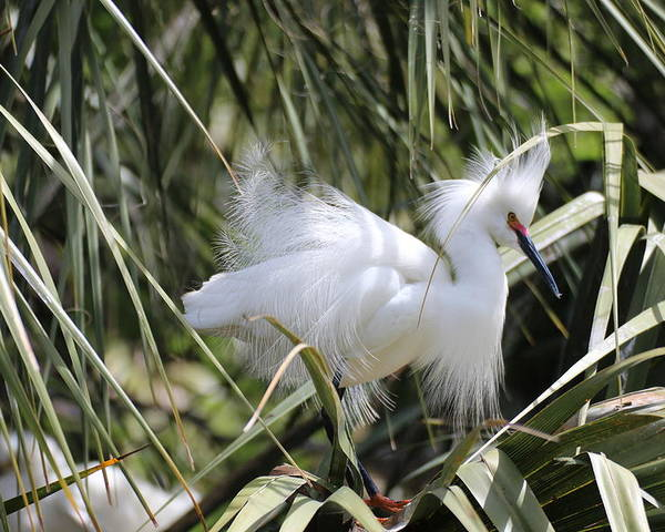 Bird Poster featuring the photograph Snowy Egret by MaryAnn Barry