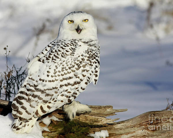 Snowy Poster featuring the photograph Snowy Owl On A Winter Hunt by Inspired Nature Photography Fine Art Photography