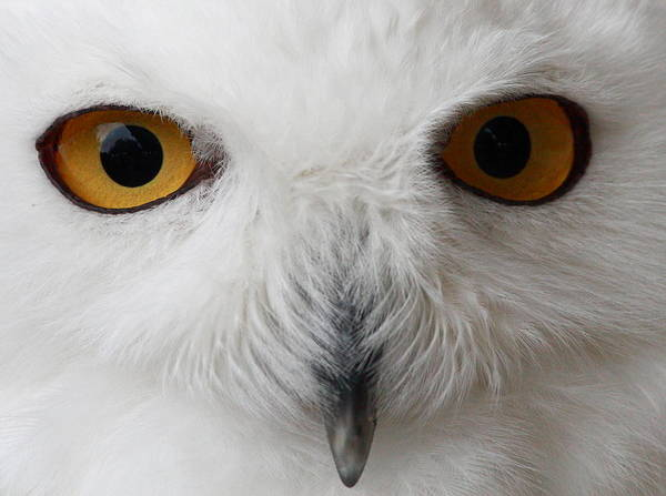 Snowy Owl Poster featuring the photograph Snowy Owl Stare by Andrew McInnes