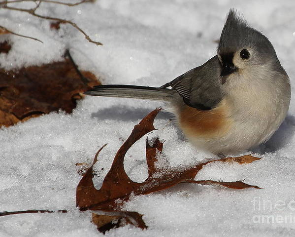 Tufted Titmouse Poster featuring the photograph Snowy Titmouse by Jeffrey Stacey