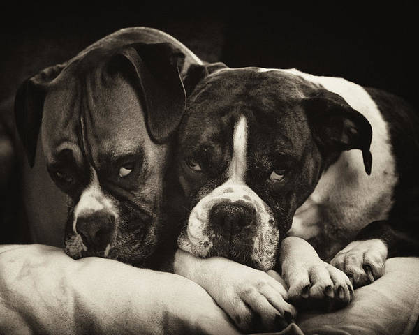 Boxer Poster featuring the photograph Snuggle Bug Boxer Dogs by Stephanie McDowell