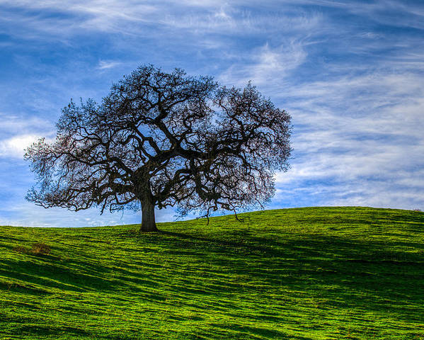 Tree Poster featuring the photograph Sonoma Tree by Chris Austin