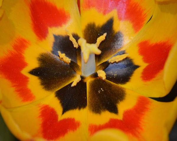 Tulip Called Yellow Poster featuring the photograph Soul Of A Tulip by Sonali Gangane