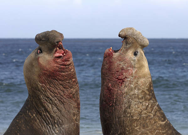 Feb0514 Poster featuring the photograph Southern Elephant Seal Males Competing by Hiroya Minakuchi