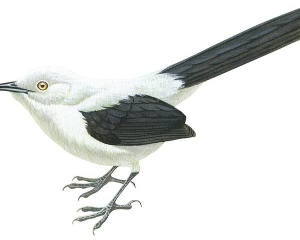 No People; Horizontal; Full Length; White Background; One Animal; Wildlife; Turdoides Bicolor; Southern Pied Babbler; Zoology; Black Color; White Color Poster featuring the drawing Southern Pied Babbler by Anonymous