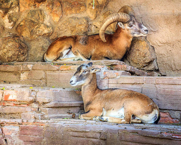Spanish Ibex Poster featuring the photograph Spanish Ibex by Pati Photography