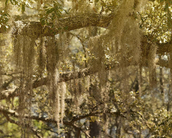 Spanish Poster featuring the photograph Spanish Moss On Live Oaks by Christine Till