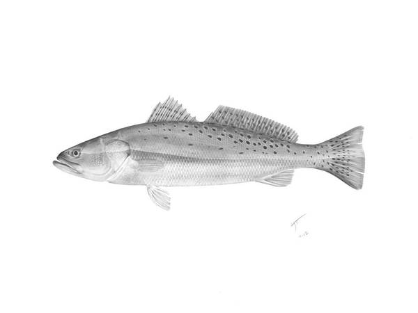 Speck Poster featuring the drawing Speckled Trout - Scientific by Hayden Hammond