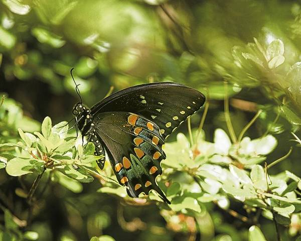 Butterfly Poster featuring the photograph Spicebush Swallowtail by Constantine Gregory