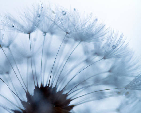 Dandelion Poster featuring the photograph Spin Round And Round by Rebecca Cozart