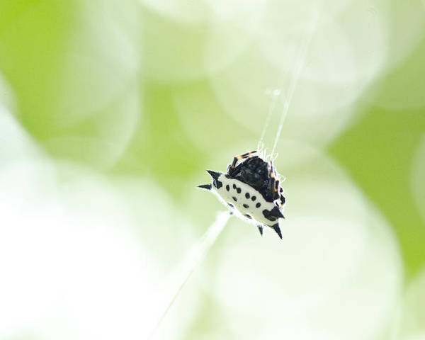 Spider Poster featuring the photograph Spiney-backed Orb Weaver by Julie Wynn
