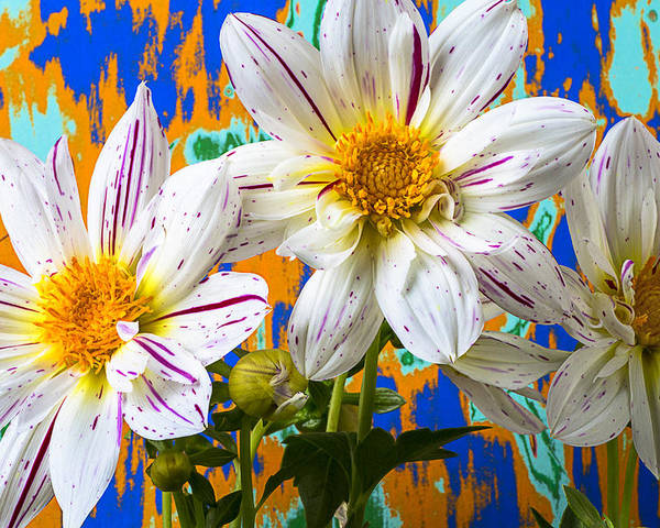 Fireworks Dahlia Poster featuring the photograph Splash Of Color by Garry Gay