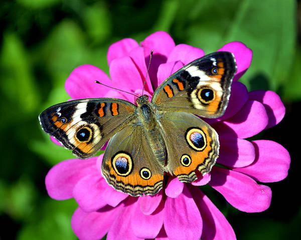 Butterfly Poster featuring the photograph Spotted Butterfly On Pink Flower by Richelle Munzon