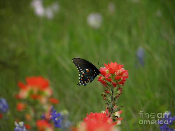 Wings Poster featuring the photograph Spotted On Wildflower by Amy Stuart Langlo