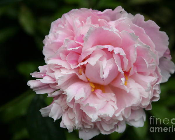 Peony Poster featuring the photograph Spring In Pink by Christiane Schulze Art And Photography