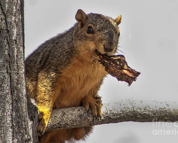 Squirrel Poster featuring the photograph Squirrel Lunch Time by Robert Bales
