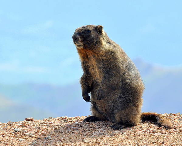 Yellow-bellied Marmot Poster featuring the photograph Standing Proud by Pam Garcia